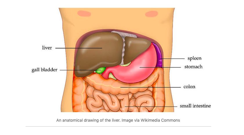 Liver myths debunked